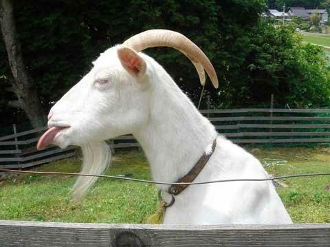 козел показывает язык